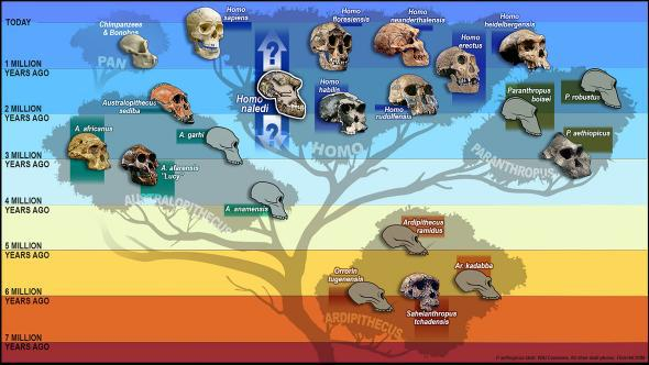 hominid_tree_skulls