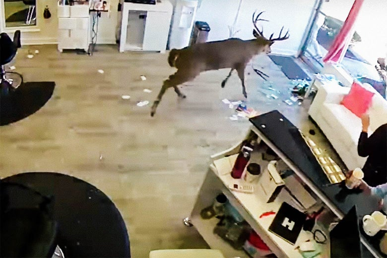 In Defense of the Deer Who Crashed Through a Salon Window