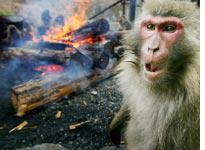 Angry Monkeys. Click image to expand.