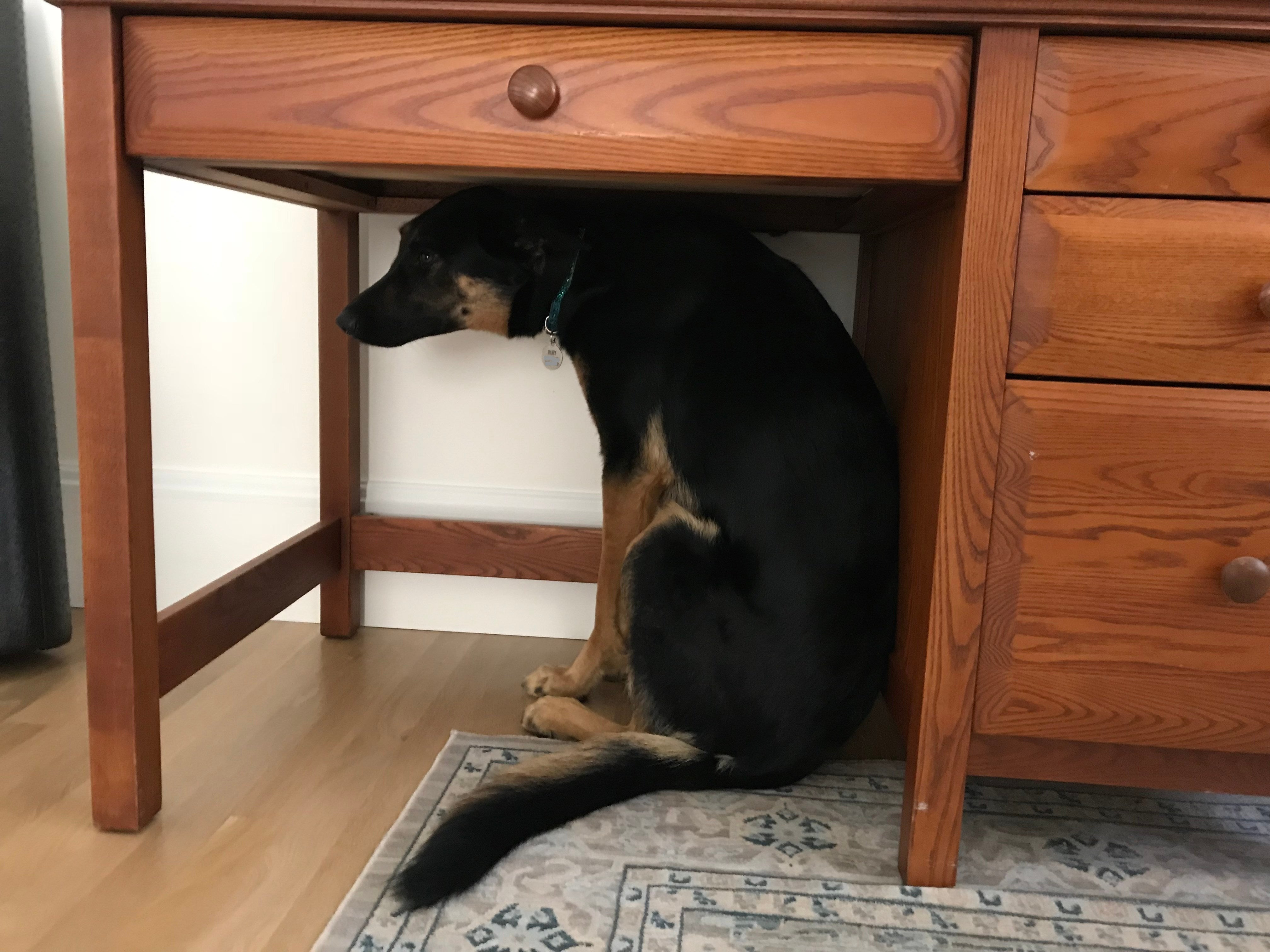 A large dog under a small desk.
