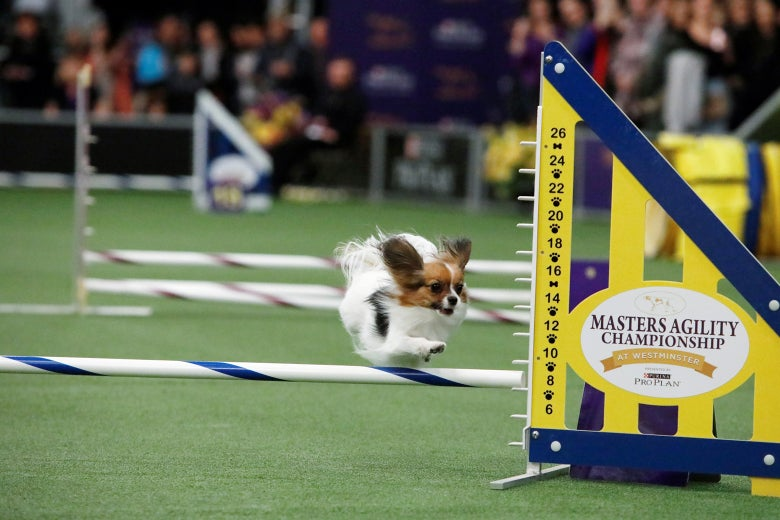 A Papillon in mid-air, jumping over a hurdle at a dog show.
