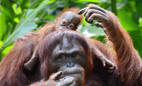 A female Bornean orangutan named Mari is seen with her still to be named son at the Singapore Zoo on March 6, 2013.