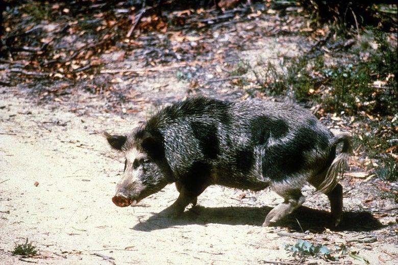A wild hog