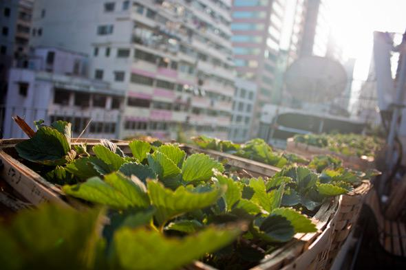 The urban farms sprouting from the rooftops of Hong Kong's high-rises are an attempt to bridge the gap between city and nature.