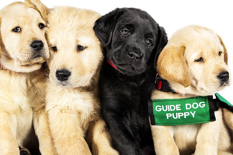 "Four puppies from the movie Pick of the Litter. One wears a strap that says ""GUIDE DOG PUPPY."""