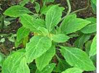 Salvia divinorum.