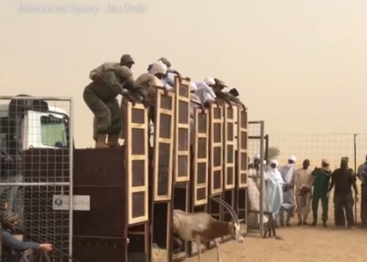 Extinct oryx released back into the wild in Chad (VIDEO).