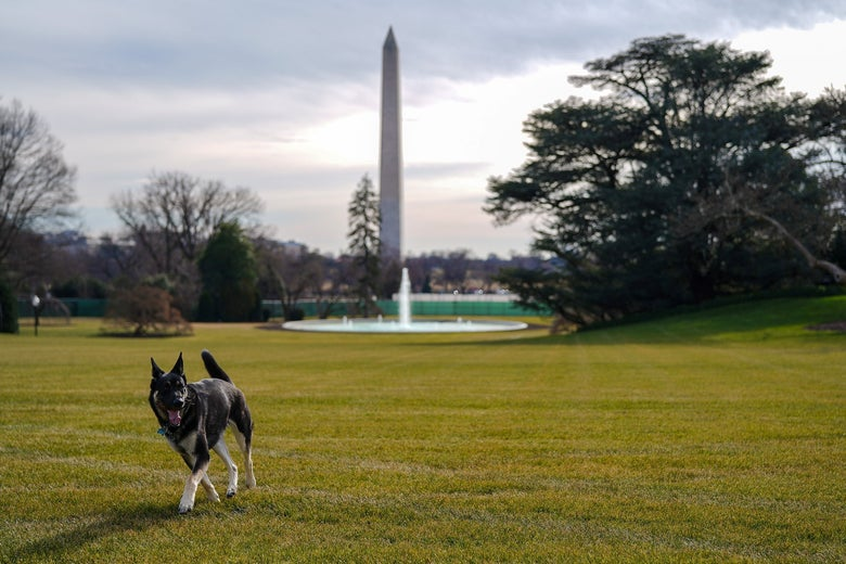 Joe Biden's dog, Major, walking on the White House grounds with the Washington Monument in the background.