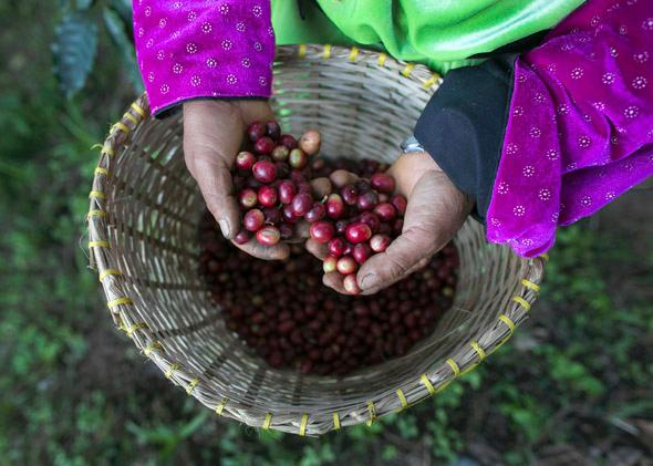 A member of the Lisu hill tribe picks Thai arabica coffee beans at the Thai High coffee farm on December 8, 2012 in Phrao, northern Thailand.
