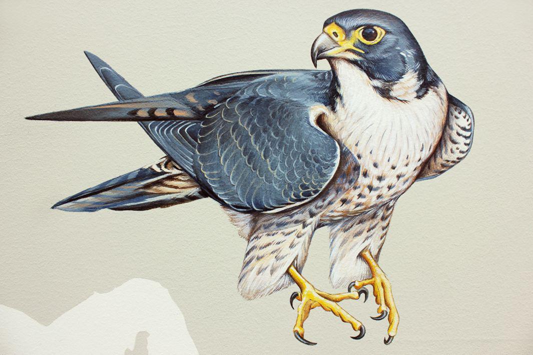 33_Peregrine Falcon