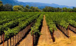 A vineyard. Click image to expand.