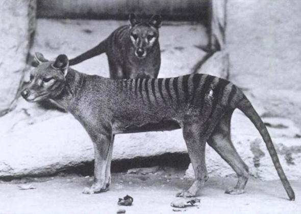 Tasmanian tiger, or Thylacinus, in Washington D.C. National Zoo, around 1904.
