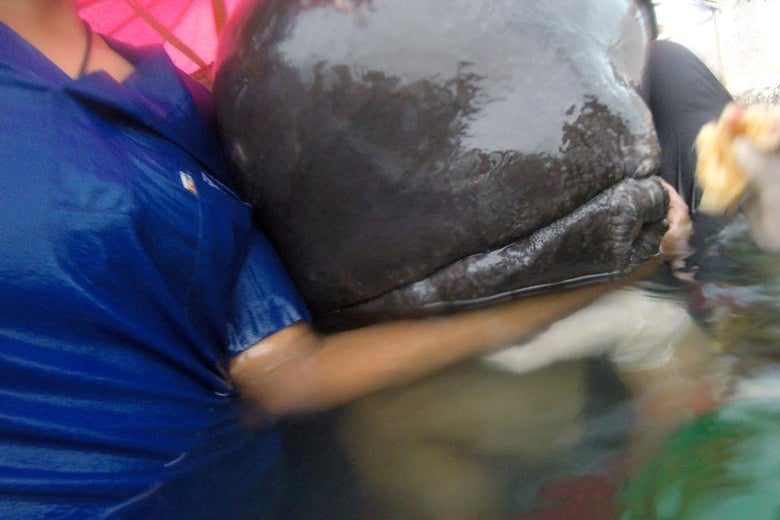 A whale found to have swallowed up to 80 plastic bags is seen in Songkhla, Thailand, in this still image from a June 1, 2018 video footage by Thailand's Department of Marine and Coastal Resources.