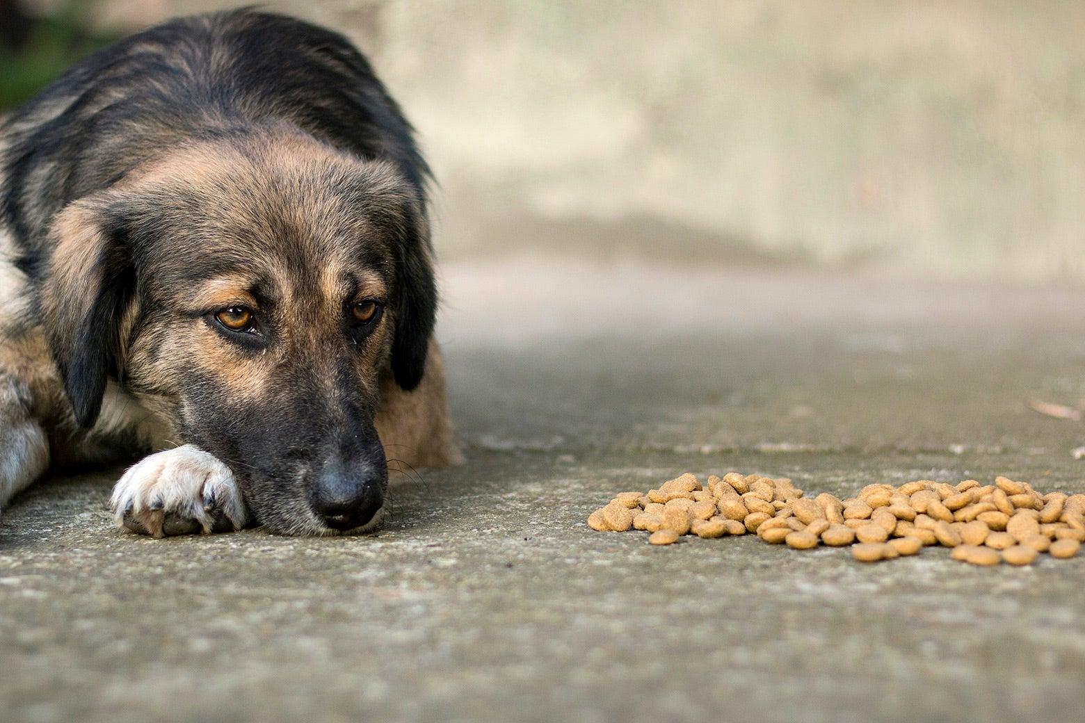 A sad dog not eating his food.