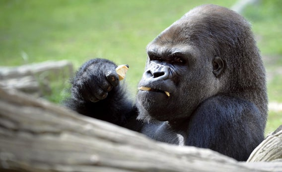 Professional fighter vs. Gorilla: Who would win?