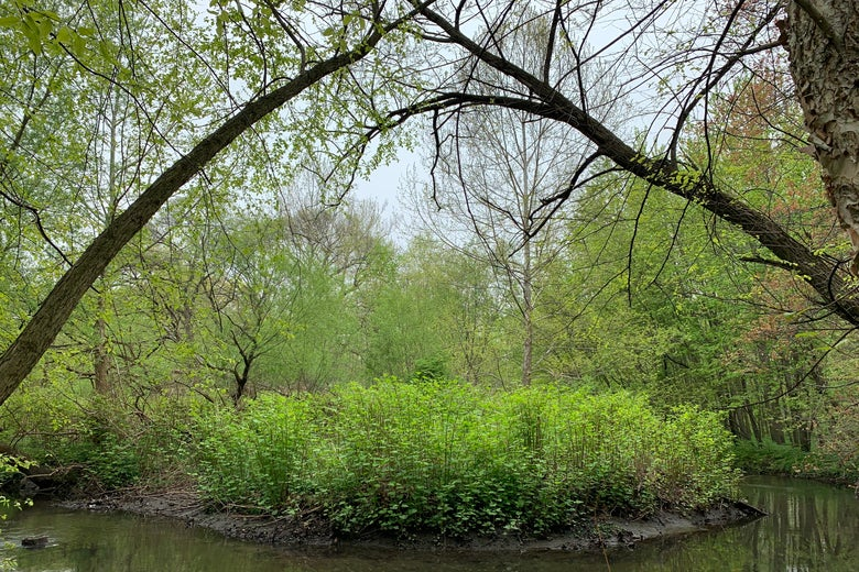 A knotweed infestation in the Bronx, where the riverbanks slough into the stream.
