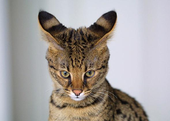A closeup of a four month old Savannah Cat, a hybrid of a domestic cat and serval.