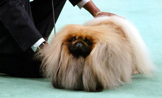 A Pekingese competes in the Best in Show competition of the 127th Westminster Kennel Club dog show