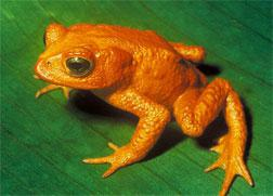 Golden Toad. Click image to expand.