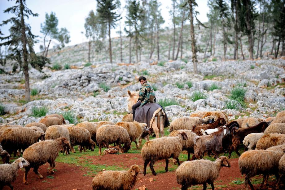 A Syrian shepherd cares for his flock near the ruins of the ancient Roman city of of Serjilla, in the northwestern province of Idlib, on March 19, 2013. The conflict in Syria has killed at least 70,000 people, and forced more than one million Syrians to seek refuge abroad.