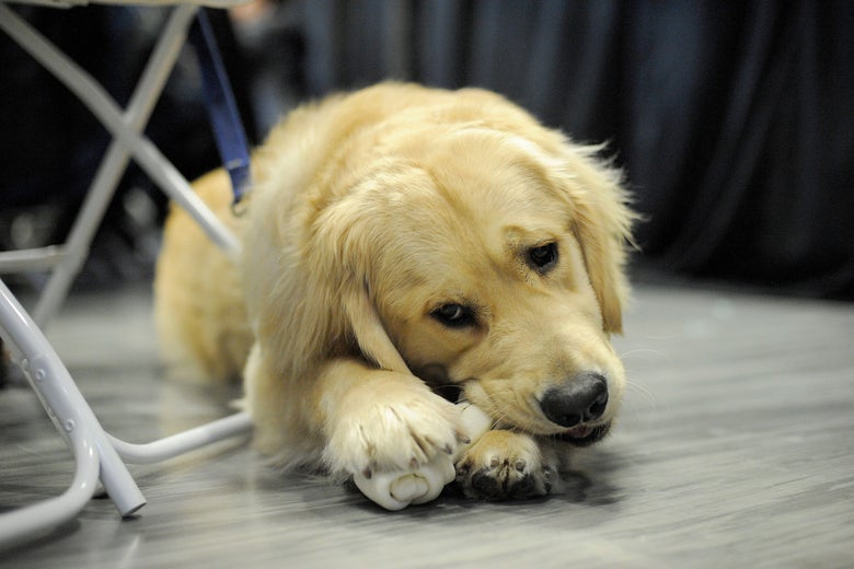 Elizabeth Warren's pet dog, Bailey.