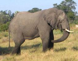 African Elephant. Click image to expand.