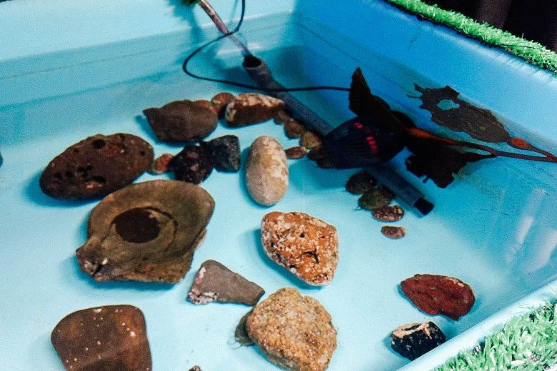 The white abalone fish is seen swimming among rocks in a small water tank.
