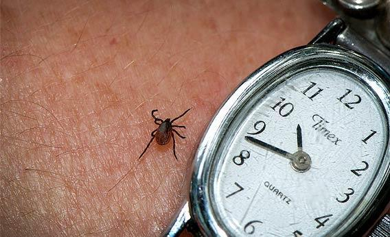 Tick that carries Lyme Disease.