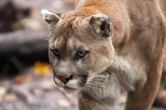 A Florida panther.