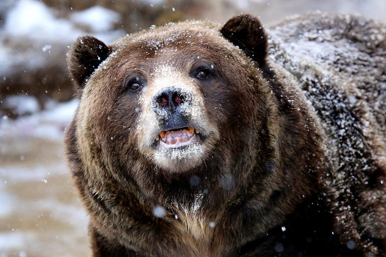 A grizzly bear baring its teeth, fur covered with snow