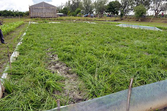 Field of golden rice, Phillipines.