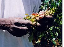 Sprigs of miraa.         Click image to expand.
