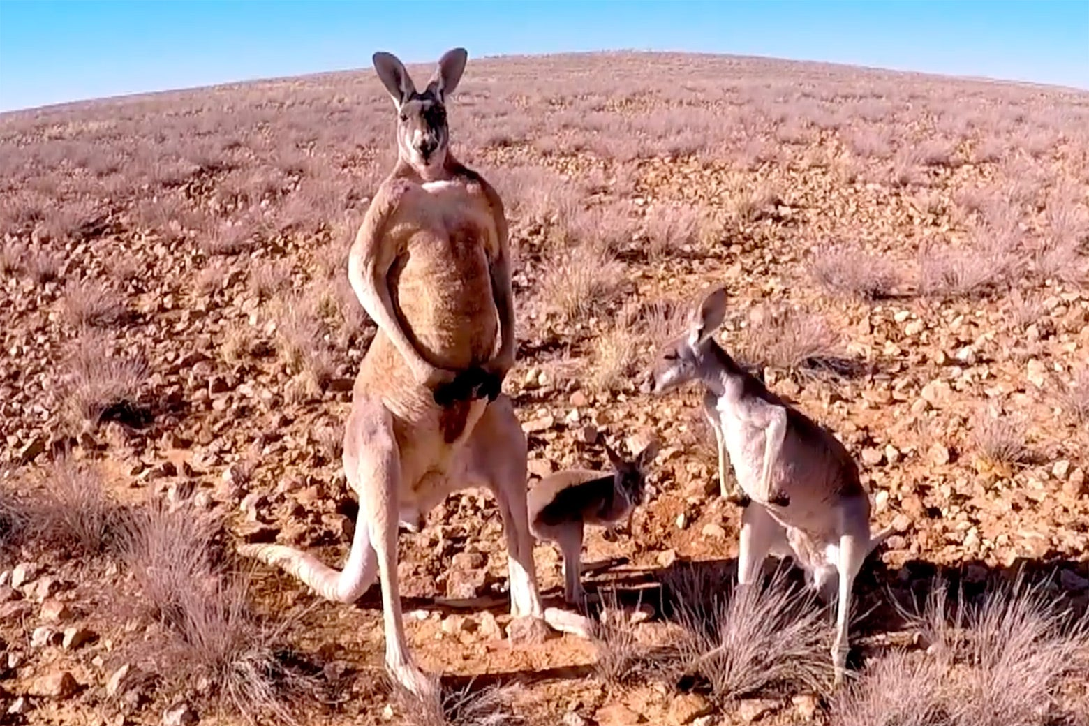 Three kangaroos.