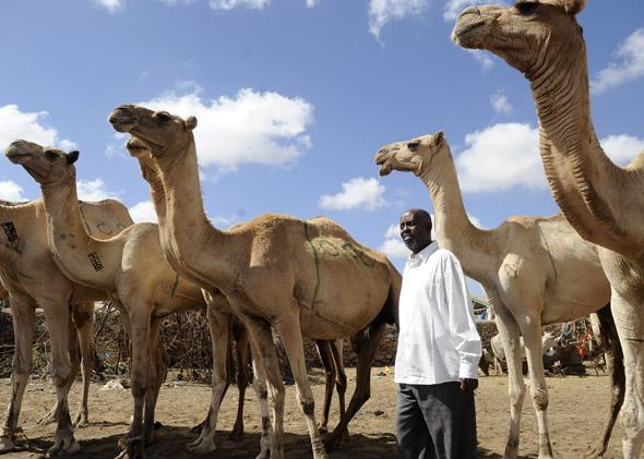 Dhamac Barud, one of the most prosperous merchants in Hargeisa, looks for potential camels to buy on October 29,2012 at Sayladah market in Hargeisa, Somaliland.