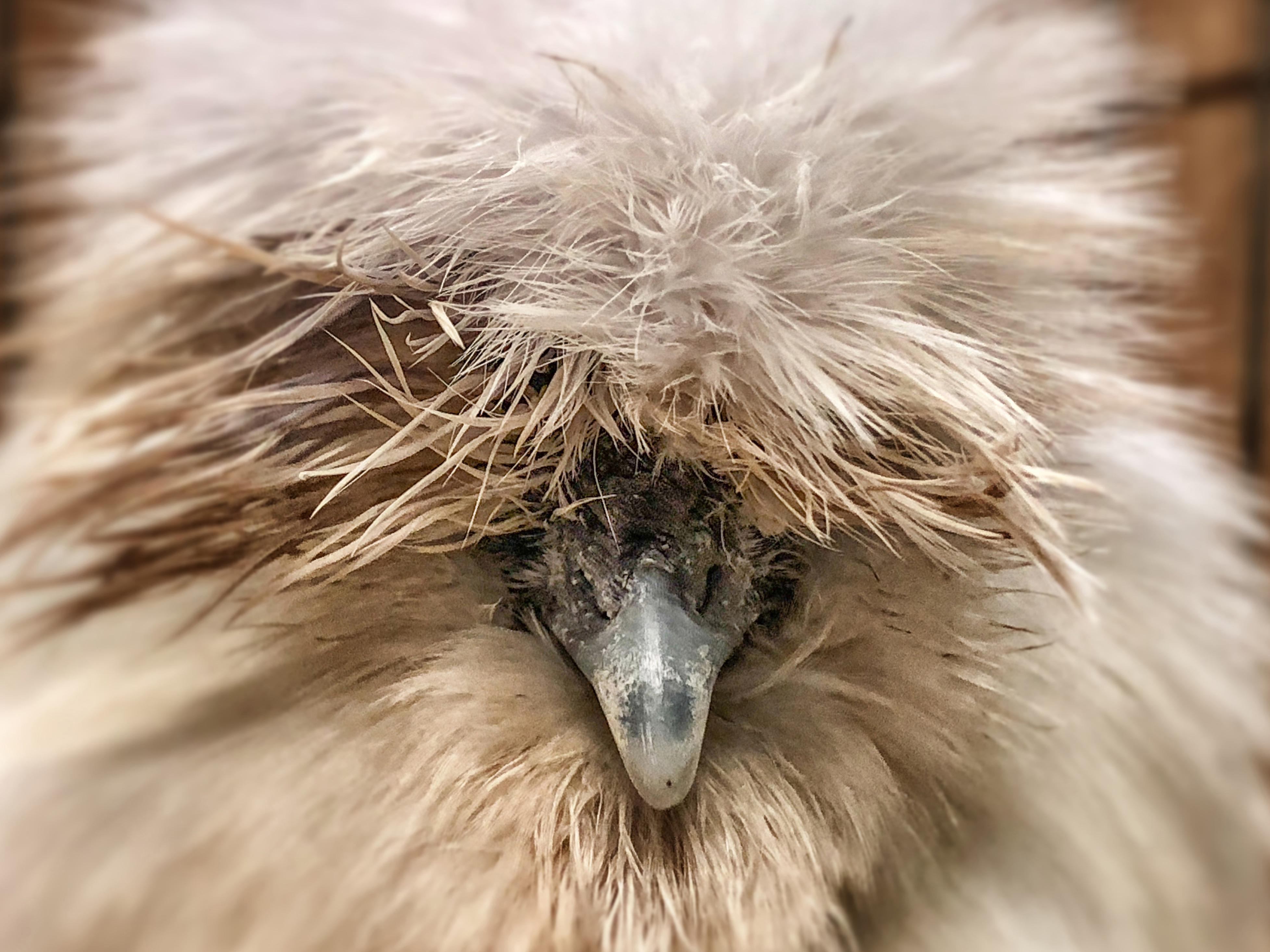 A silkie's eyes are hidden by its luscious fur.