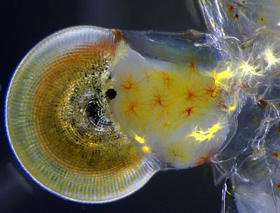 Macrobrachium shrimp (ghost shrimp) eye, 140X.