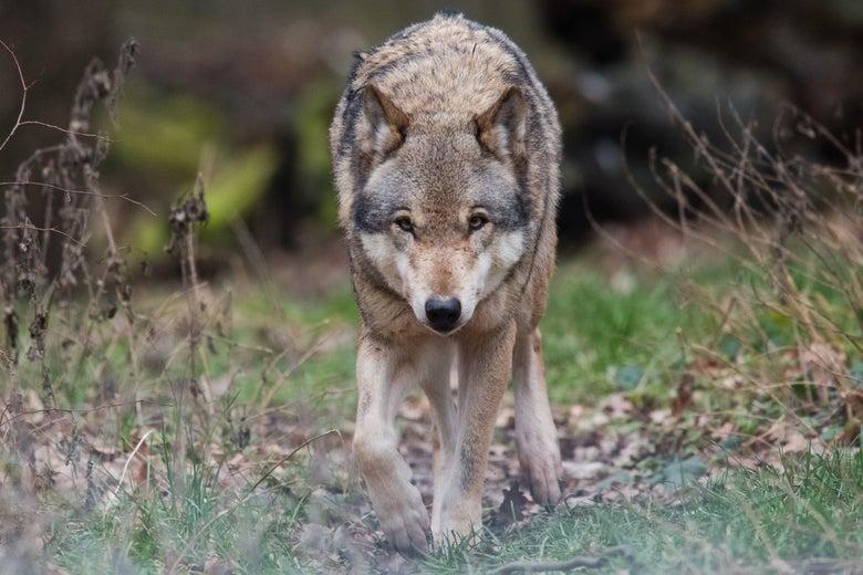 A grey wolf walks toward the camera.