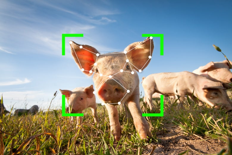 Pigs in a field, with a face detection frame over one pig's face.