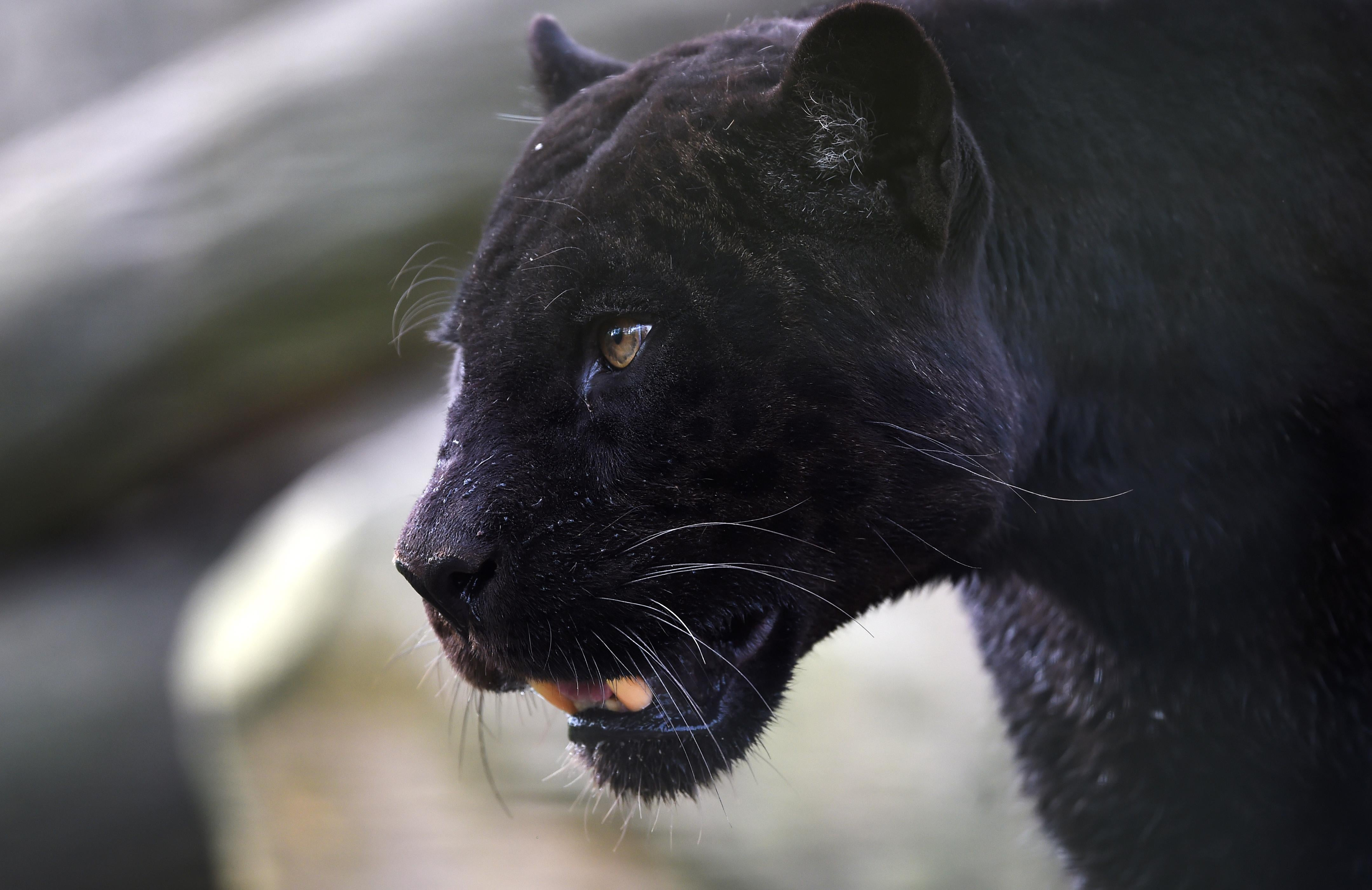 A black panther.