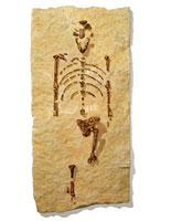 The fossilized skeleton of Lucy          Click image to expand.