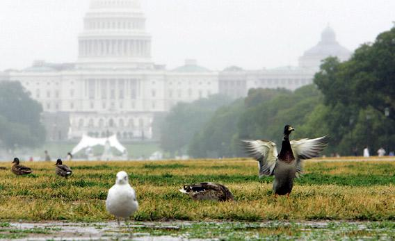 Ducks, and seagulls, use The National Mall near the US Capitol in 2006 in Washington, DC, during a rainy day.