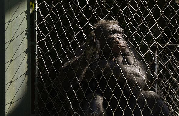 An old chimpanzee rests in the Los Angeles Zoo.