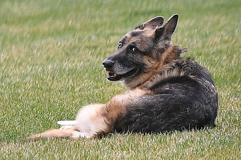 The Bidens dogs Champ is seen on the South Lawn of the White House in Washington, D.C. on March 31, 2021.
