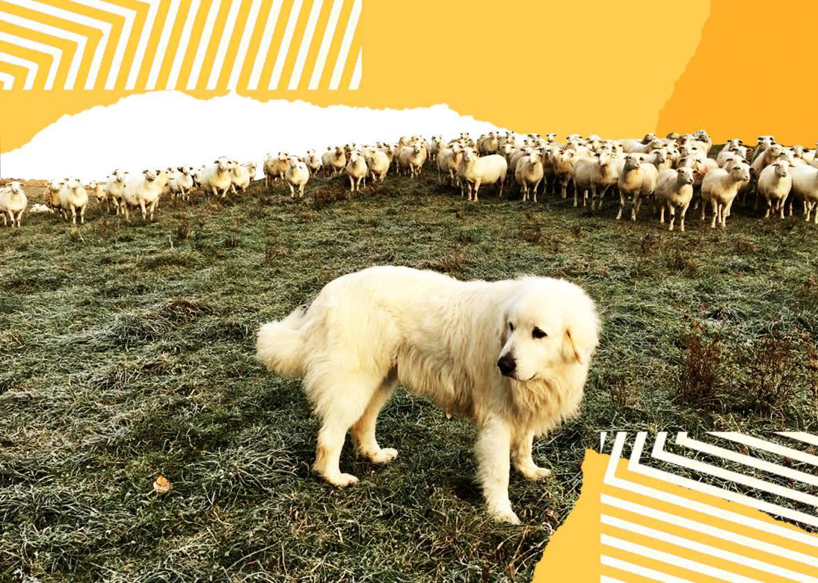 Dog guiding sheep into pasture.