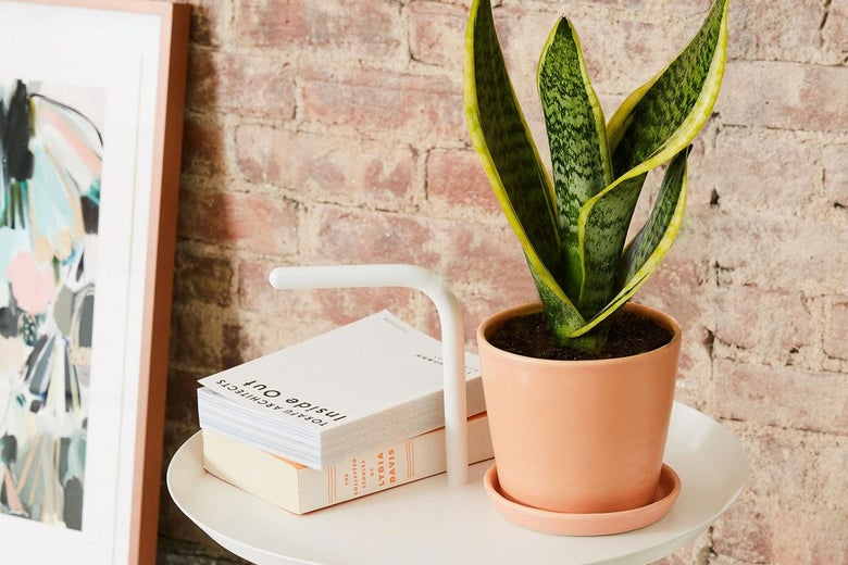The Sill Snake Plant Laurentii and Planter