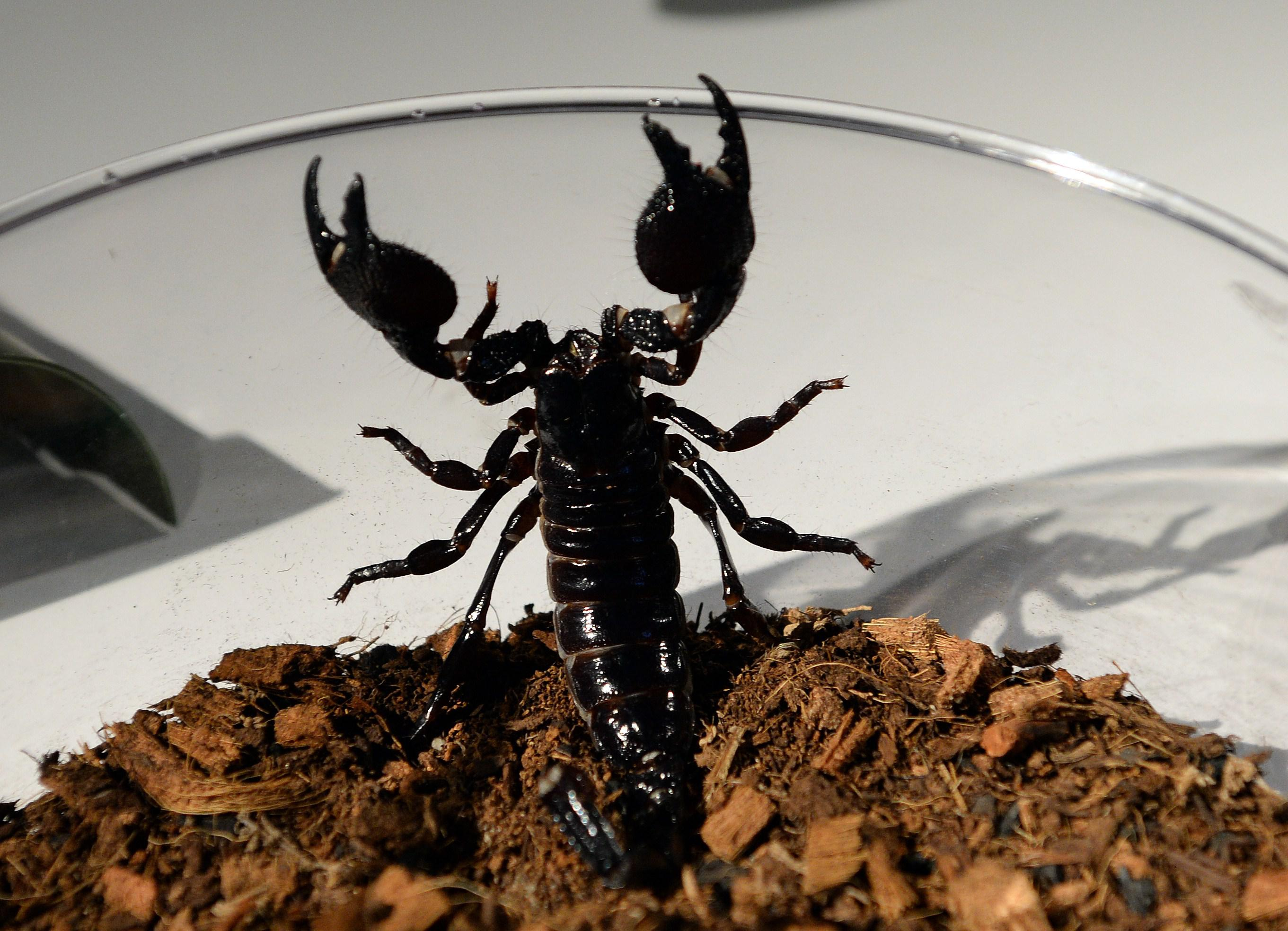 An emperor scorpion trying to escape a glass bowl.