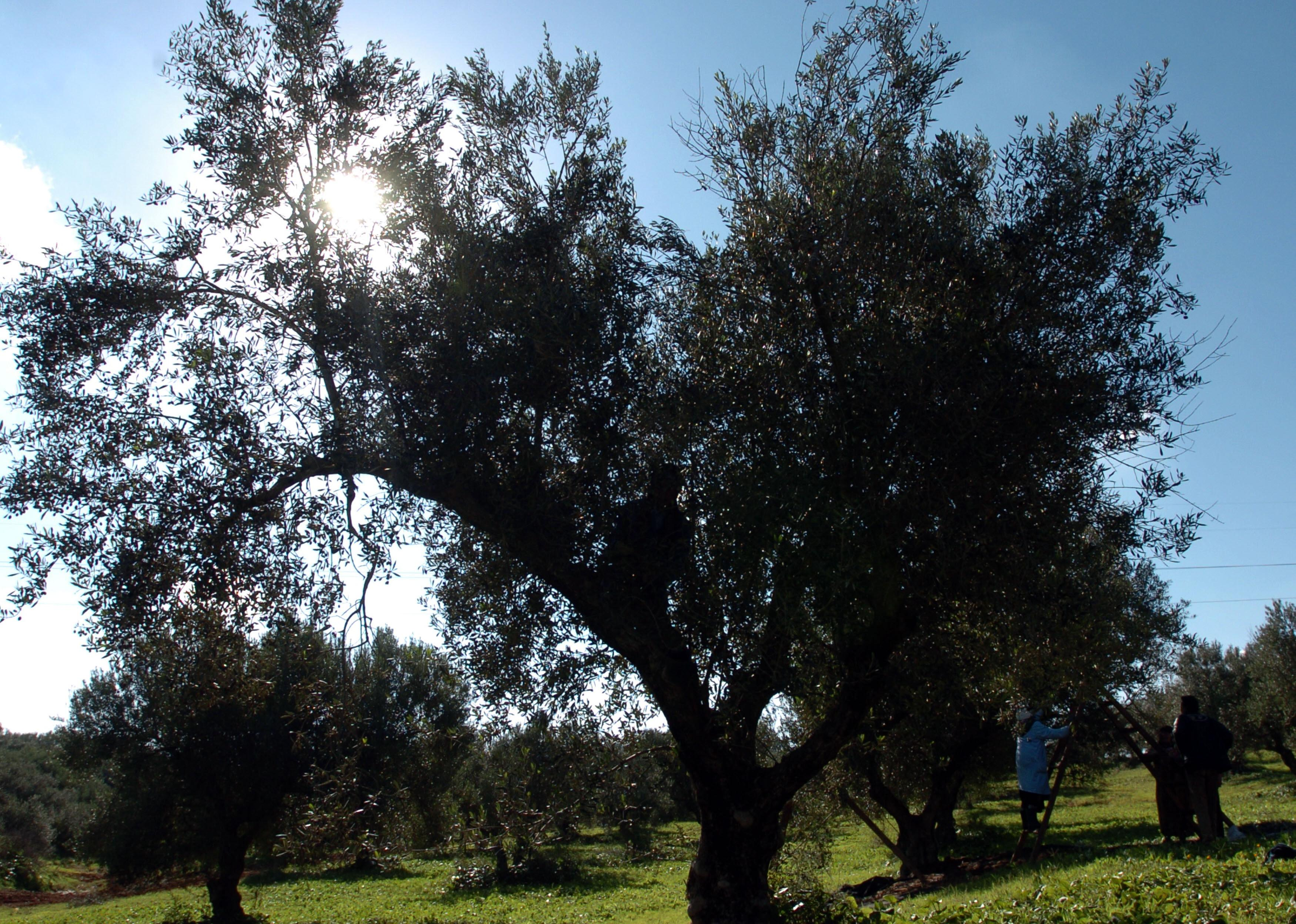 Tunisians workers pick olives in Sabbalet Ammar near Tunis