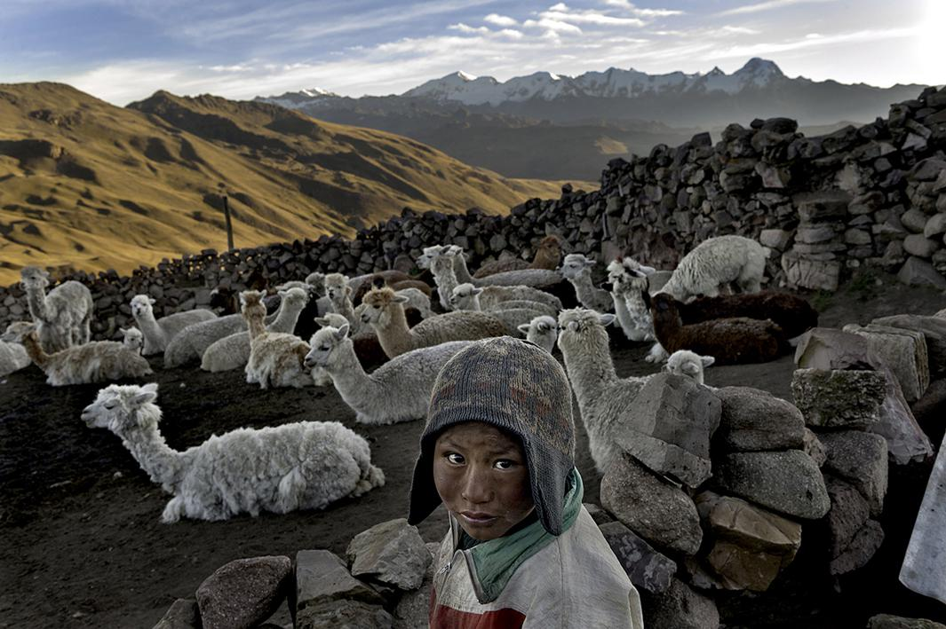 Following the death of his father, Alvaro Kalancha Quispe, 9, helps his family survive by herding. He opens the gate to the stone pen that holds the family's alpacas and llamas each morning so they can graze throughout the hillsides during the day. He then heads off to school, but must round them up again in the evening in the Akamani mountain range of Bolivia in an area called Caluyo, about an hour from the city of Qutapampa.In this part of the world, the highlands of Bolivia, approximately 13,000 feet above sea level, residents live in homes with no insulation, no electricity, and no beds. Their water comes from streams that run off the snow-covered mountains. Their livelihood lies with their animals, for each animal produces about three pounds of fur each year, and each pound of fur is sold for 18 bolivianos, which amounts to about $2.50 U.S. All in all, this family may earn about $200 of income each year from the herd they watch over.