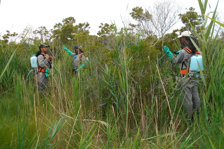 Glyphosate treatment of phragmites infestation at Assateague Island National Seashore.