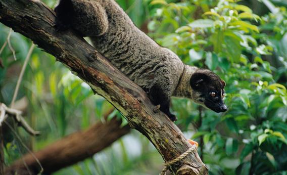 Civet Cat.